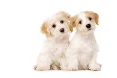 Dwa szczeniaka siedzącego odizolowywającym na białym tle Obraz Royalty Free