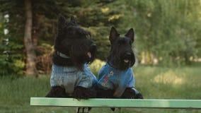 Dwa szkocki terier zbiory