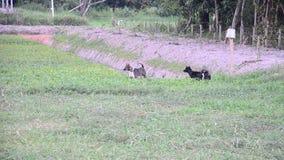 Dwa tajlandzkiego psa szczekają w ziemi uprawnej zbiory wideo