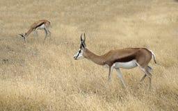 Dwa Thomson gazeli Eudorcas thomsonii pozyci w sawannie Zdjęcia Stock