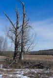 Dwa topolowego drzewa w naturalnej teren otwartej przestrzeni Obrazy Stock