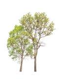 Dwa tropikalnego drzewa w Tajlandia odizolowywali na białym tle zdjęcie royalty free