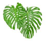 Dwa tropikalnego liścia Zdjęcie Stock
