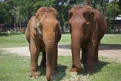 Dwa Trwanie Żeńskiego Azjatyckiego słonia Obrazy Royalty Free