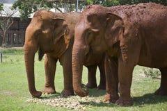 Dwa Trwanie Żeńskiego Azjatyckiego słonia Obraz Royalty Free