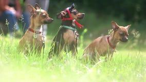 Dwa trzy chihuahua robią krokowi naprzód zbiory wideo