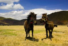 Dwa Tybetańskiego konia Zdjęcia Royalty Free