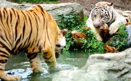 dwa tygrysy Zdjęcia Royalty Free