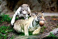 dwa tygrysy Zdjęcie Royalty Free