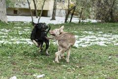 Dwa ulicznego psa Fotografia Royalty Free