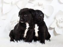 Dwa uroczego puszystego szczeniaka opiera do siebie, biały backgro fotografia stock