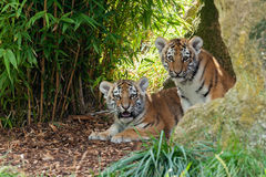 Dwa Uroczy Amur TARGET823_0_ w Schronieniu Tygrysi Cubs Zdjęcia Royalty Free