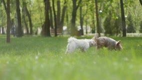 Dwa uroczy mały owłosiony psi bieg na zielonej trawie w parku outdoors zbiory wideo