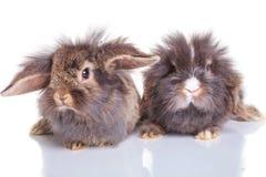 Dwa uroczych lew głowy królika bunnys łgarskiego puszka Obrazy Royalty Free
