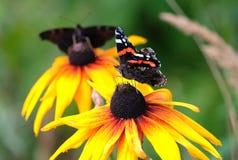 Dwa Vanessa atalanta Czerwony Admiral motyle siedzi na żółtych kwiatach nad plamy zieleni tła zakończenie up Zdjęcia Stock