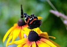 Dwa Vanessa atalanta Czerwony Admiral motyle siedzi na żółtych kwiatach nad plamy zieleni tła zakończenie up Zdjęcia Royalty Free