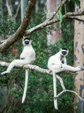 Dwa Verreaux Sifaka ` s obsiadanie na drzewie w Madagascar Obraz Stock