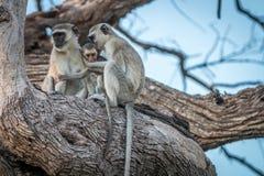 Dwa Vervet małpy odpoczywa na drzewie Fotografia Royalty Free