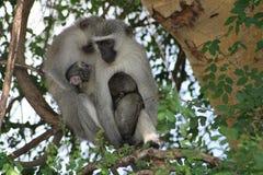 Dwa Vervet małpy preening dziecka Zdjęcia Stock