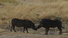 Dwa warthogs stawiają czoło each inny w masai Mara parku narodowym zbiory