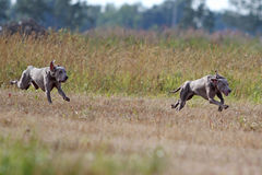 Dwa Weimaraner psów bieg Obraz Stock