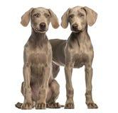 Dwa Weimaraner szczeniaka, 2,5 miesięcy starzy, obsiadanie i pozycja, Zdjęcie Stock