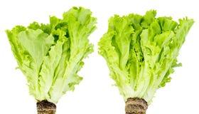 Dwa wiązki zielona sałata zdjęcie royalty free