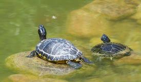 dwa żółwie morskie Zdjęcia Stock