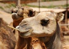 Dwa wielbłąda Obrazy Royalty Free