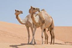Dwa wielbłąda w Arabskiej pustyni Zdjęcie Stock