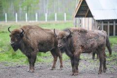 Dwa wielki brown żubr na lasowym tle Dwa byka z dużymi rogami na tle ferma obraz royalty free