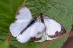 Dwa wielki południowy biały motyl w różnych krokach koperczaki XI. fotografia stock