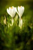 Dwa wielkiego białego crocusses w wysokiej łące Fotografia Royalty Free