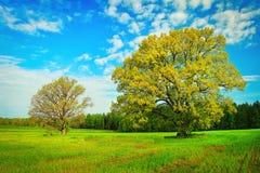 Dwa wielkiego drzewa na zielonej łące na jaskrawym letnim dniu Zdjęcie Royalty Free