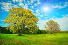Dwa wielkiego drzewa na zielonej łące na jaskrawym letnim dniu Fotografia Stock