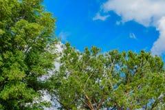 Dwa wielkiego drzewa przy parkiem Zdjęcie Royalty Free