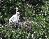 Dwa wielkiego egrets fotografia royalty free