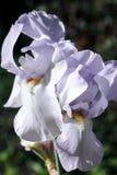 Dwa wielkiego kwiatu biały irys na zielonym rozmytym tle kwitną w ogródzie, obrazy royalty free