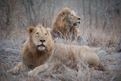 Dwa wielkiego męskiego lwa na suchym, trawiastym kopu, przyglądający up Fotografia Royalty Free