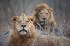Dwa wielkiego męskiego lwa patrzeje kamerę Zdjęcie Royalty Free