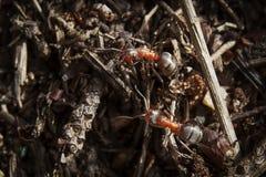 Dwa wielkiej lasowej mrówki na słonecznym dniu w lesie fotografia stock