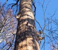 Dwa wiewiórek sztuka na drzewie niebieska tła Fotografia Royalty Free