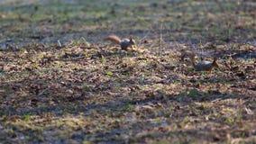 Dwa wiewiórki szukają jedzenie wśród suchych liści na ziemi Czerwona wiewiórka lub Eurazjatycka czerwona wiewiórka /Sciurus vulga zbiory wideo
