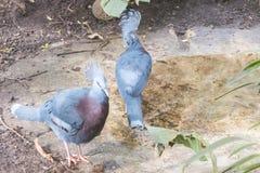 Dwa Wiktoria Koronowany gołąb, Columbidae zdjęcia stock
