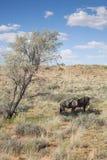 Dwa wildebeest Zdjęcia Royalty Free