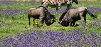 Dwa wildebeest bój zdjęcie royalty free