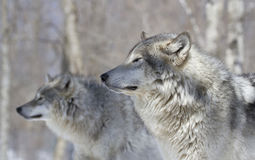 Dwa wilka w lesie Zdjęcia Stock