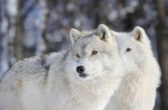 Dwa wilka w zimie fotografia stock