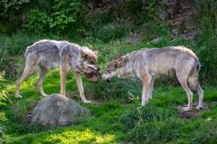 Dwa wilka walczy nad jedzeniem obrazy royalty free