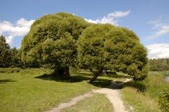 dwa willow krajobrazu Obrazy Royalty Free